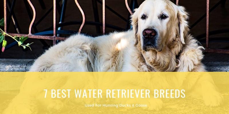 7 BEST WATER RETRIEVER BREEDS