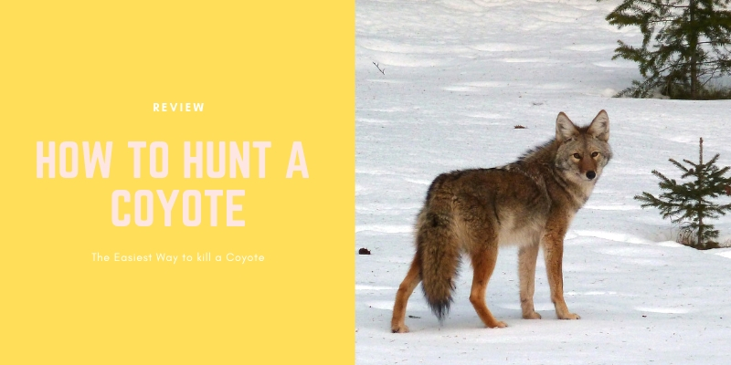 HOW TO HUNT A COYOTE