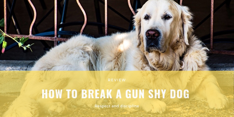 HOW TO BREAK A GUN SHY DOG
